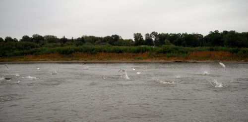 Asian_carp_Illinois_River