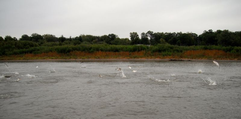 Asian_carp_Illinois_R